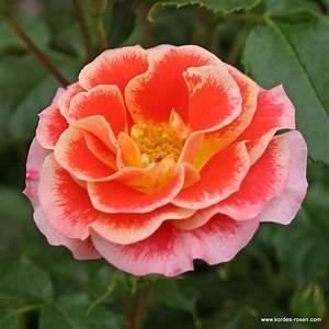 Begleitpflanzen Für Rosen : airbrush beetrosen plant o fix kordes rosen ~ Orissabook.com Haus und Dekorationen