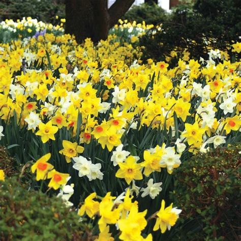 deer resistant blooms mixed daffodils for naturalizing