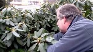 Oleander Zurückschneiden Radikal : rhododendron radikal runter schneiden newwonder555 free ~ Lizthompson.info Haus und Dekorationen