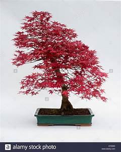 Roter Japanischer Ahorn : acer palmatum japanischer roter ahorn stockfoto bild 73458591 alamy ~ Frokenaadalensverden.com Haus und Dekorationen