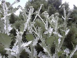 Weidenruten Zum Pflanzen Kaufen : saatgut samen riesen distel eselsdistel onopordum ~ Lizthompson.info Haus und Dekorationen