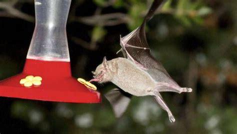 photograph bats   backyard mnn mother