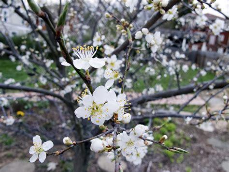 tree blooms chickweed woolgathering wildcrafting