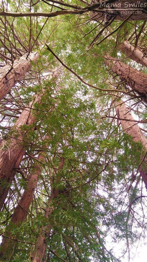 california redwood tree facts for after school 959 | de7f0c58fb31dc626b487a193c619e33