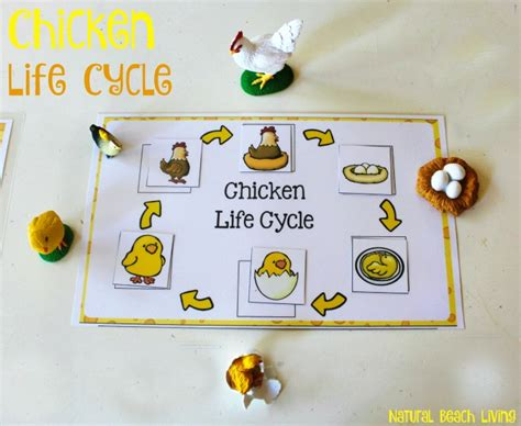 chicken life cycle  printables natural beach living
