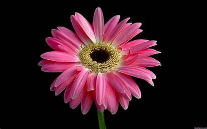 Daisy Pink Wallpapers Widescreen Resolutions 1280