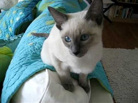 Chatty Siamese Kitten Youtube