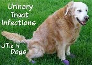 urinary tract infection uti causes dog uti symptoms and treatement