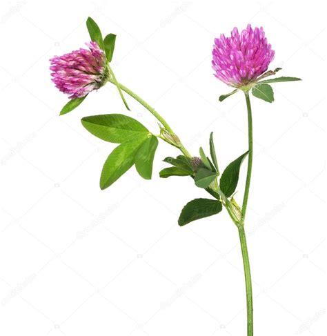 fiori di trifoglio fiori di trifoglio viola foto stock 169 dr pas 84194346