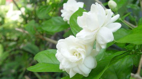Gardenia Picture by Gardenia Flower Wallpaper