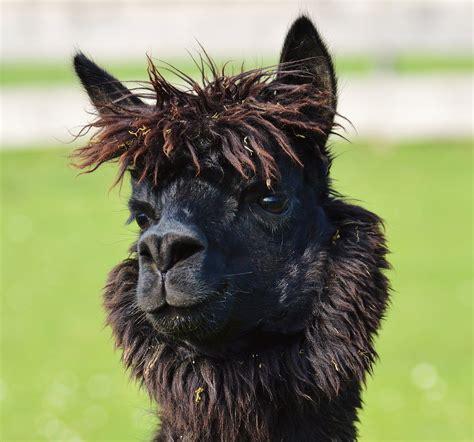 cute animals head black   animal domestic