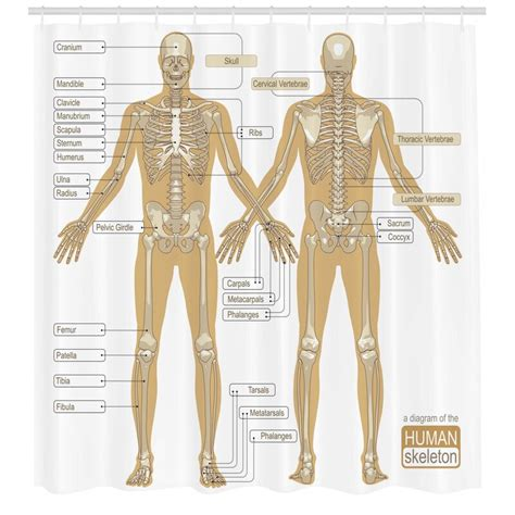 Human anatomy diagrams show internal organs, cells, systems, conditions, symptoms and sickness information and/or tips for healthy living. Ambesonne Human Anatomy Diagram of Human Skeleton System With Titled Main Parts of Body Joints ...