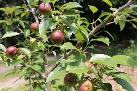 Urban Food Forests Make Fruit Free For The Picking Kuow