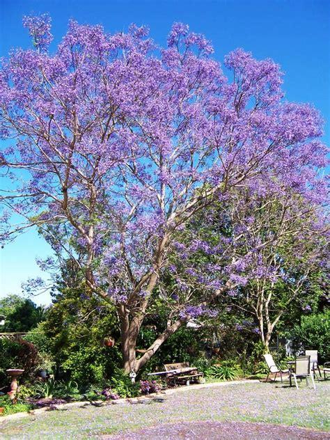 jacaranda tree jacaranda trees spain delicate fern like leaves purple flowers 187 spain info