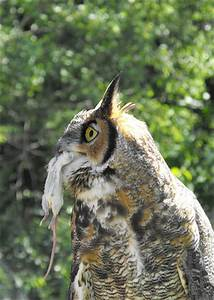 Great Horned Owl eating a mouse | Flickr - Photo Sharing!