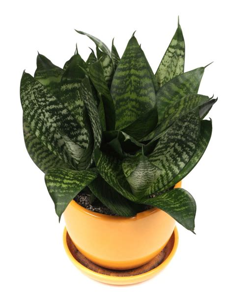 Snake Plant Benefits Snake Plant Sansevieria Mother In Law S Tongue My