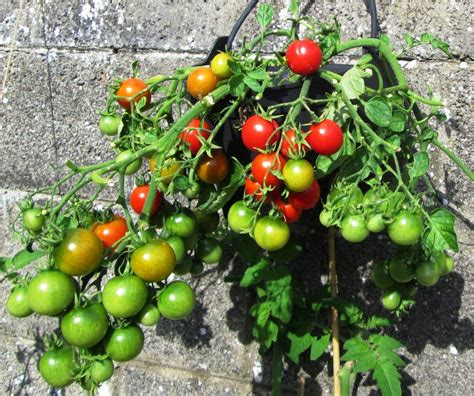 How To Grow Tomatoes In Containers Hubpages