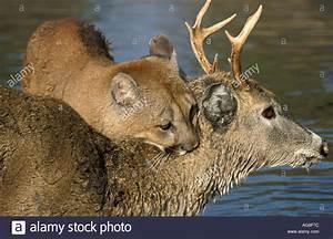Mountain Lion Puma Cougar Felis concolor Minnesota on deer ...