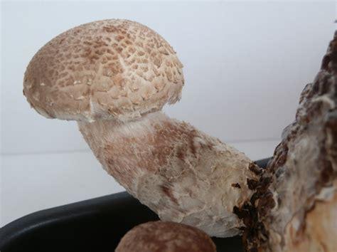 Shiitake Pilze Im Garten by K 246 Stliche Speise Pilze Selber Z 252 Chten