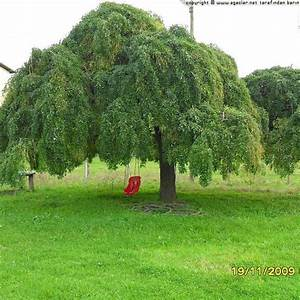 Arbre à Croissance Rapide Pour Ombre : arbres d 39 ornement les nouvelles p pini re du gatinais ~ Premium-room.com Idées de Décoration