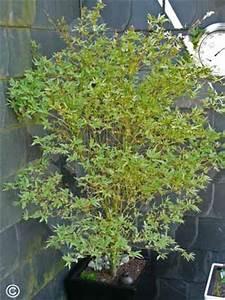 Bäume In Kübeln : b ume str ucher und kletterpflanzen japanischer ahorn ~ Lizthompson.info Haus und Dekorationen