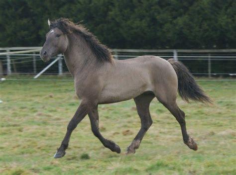 curly horse horses australia grulla moonlight stud breed breeds smoky bashkir hypoallergenic amazing american curlies stallion vic short allergenic shimm