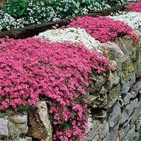 flowers that spread quickly 1000 images about flower garden on pinterest perennials primroses and container garden