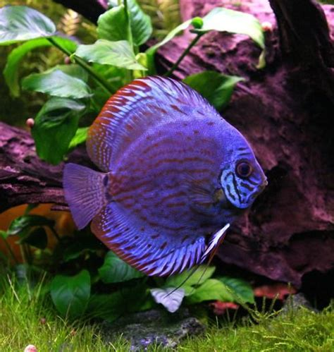discus freshwater fish aquariums poisson et poisson d eau douce