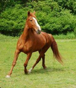 Light Chestnut Brown Horse