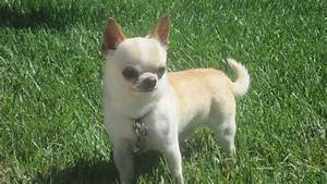 Emerging long haired chihuahua for sale in florida tips for Dog kennels for sale in pa