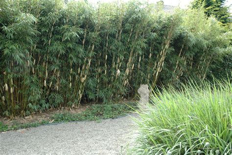 Garten Sichtschutz Pflanzen Hoch by Sichtschutz Pflanzen Schnellwachsend Garten Sichtschutz