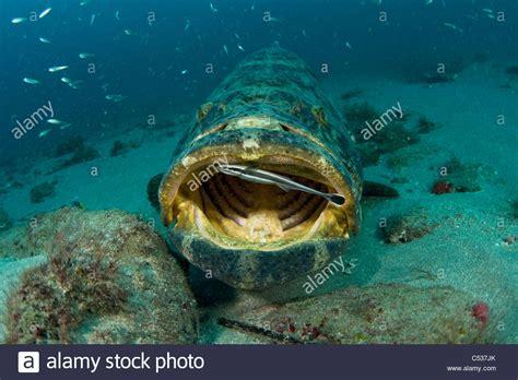 itajara epinephelus grouper goliath fish underwater atlantic alamy