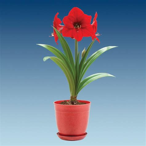 bloomsz economy amaryllis with pot 08210