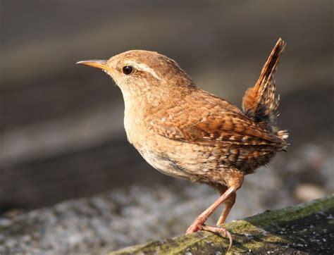 the wren the urban birder