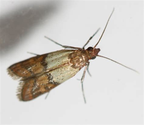 Indian Pantry Moth Zoology Insect Identification Pantry Moth Vs Clothes