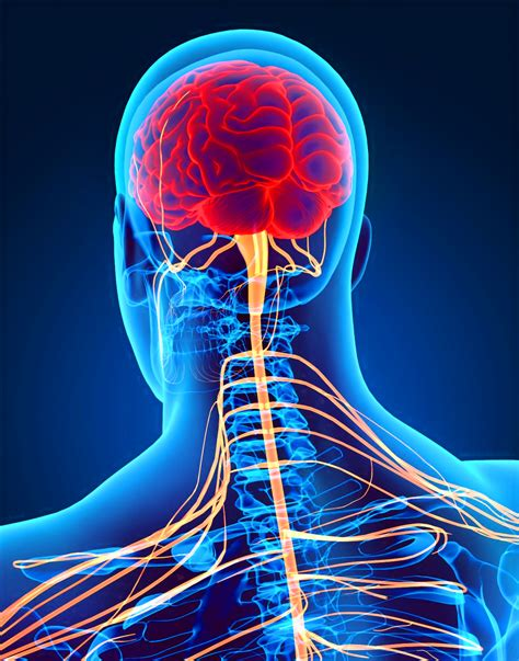 Sistemi Nervor; përshkrimi dhe sëmundjet e tij   Kumti