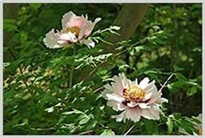 Garten Mohn Sorten : foto pfingstrosen lilie mohn narzissen bl ten garten ~ Michelbontemps.com Haus und Dekorationen