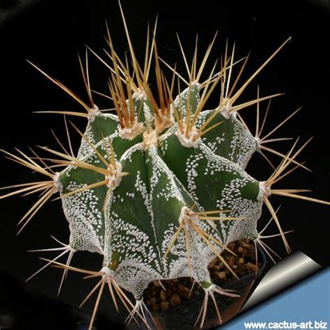 astrophytum ornatum forma meztitlan