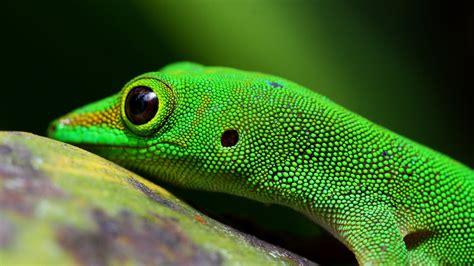 Green Animal Wallpaper - wallpaper gecko reptile green 4k animals 15438
