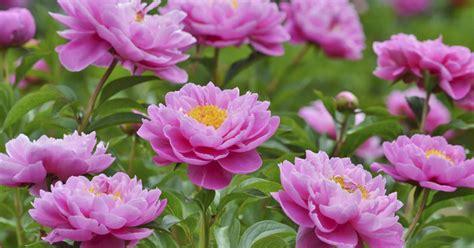 Pfingstrosen Pflanzen Und Pflegen 3420 by Pfingstrose P 228 Onie Pflanzen Pflege Und Tipps Mein