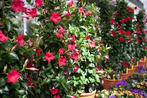 Mediterrane Kübelpflanzen Winterhart by Mediterrane K 252 Belpflanzen Blumen Hirter Ag