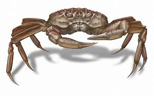 Not A True Crab