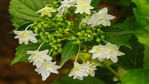 Beautiful, White, Mountain, Flowers, And, Green, Leaves, Spring, Hd, Wallpaper, Wallpapers13, Com