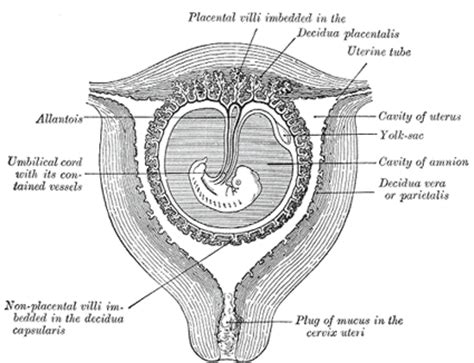Cytotec 5 Months Pregnant Development Of The Fetal Membranes And Placenta Human