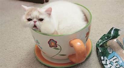 Cat Cup Cats Giphy Coffee Persian Animated