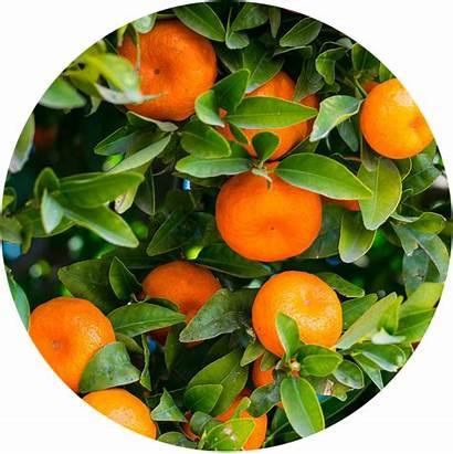 Citrus Growing Guide Guides Kidsgardening