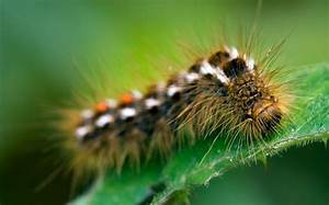 Poisonous Caterpillars That Can Cause Asthma Attacks Have Spread Inland For The First Time