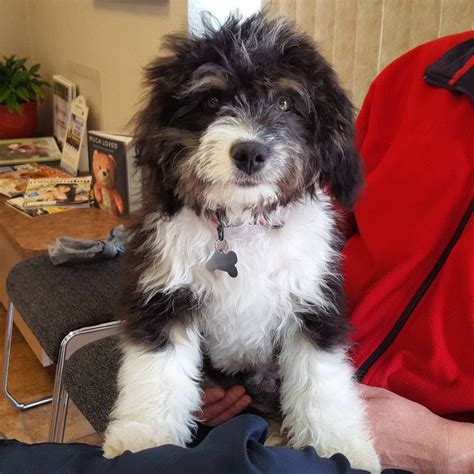 Do Miniature Aussiedoodle Shed by 17 Best Images About Aussiedoodles On Poodles