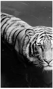 White Tiger Full HD Wallpaper and Background Image ...