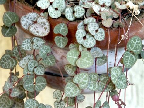 conseils de culture et d entretien pour le ceropegia ou cha 238 ne des coeurs une plante grasse 224